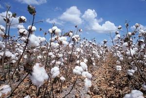 plant_cotton-plant